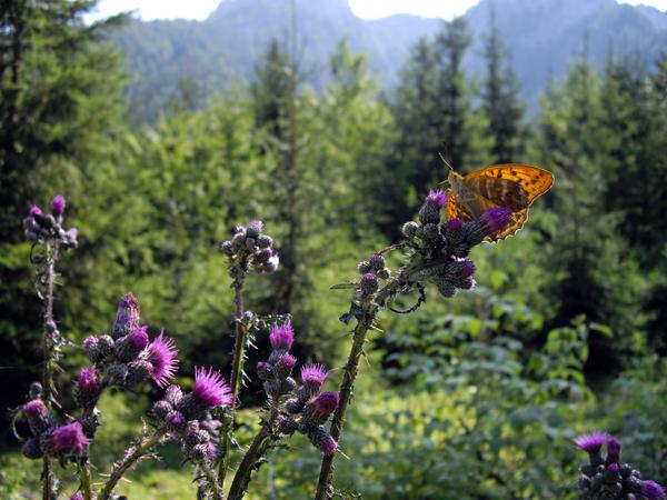 Schmetterling auf Nektarsuche auf Distel-Blüte