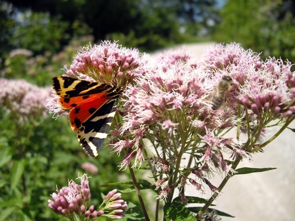 Schmetterling auf Nektarsuche