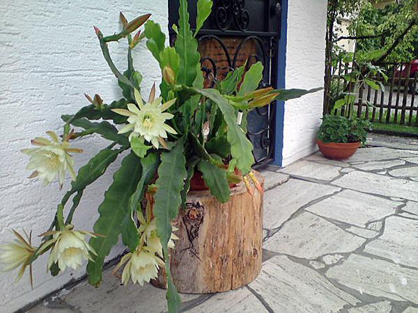 Kakteen - Blühender Kaktus auf der Terrasse